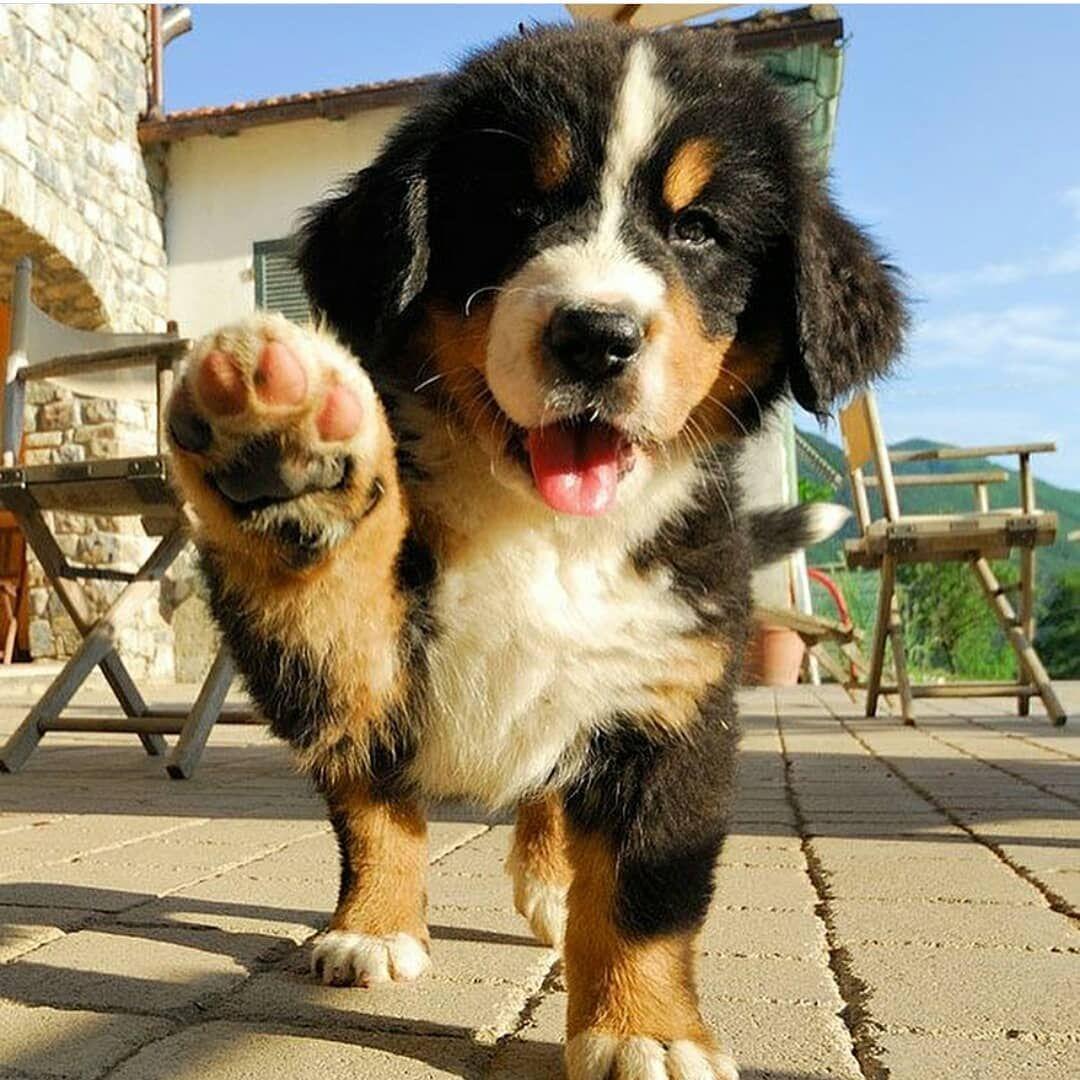 Bernese mountain dog puppy schattigste honden mooie