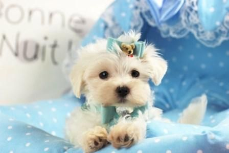 Teacup Maltese Puppies For Sale At Teacup Puppies Store Maltese