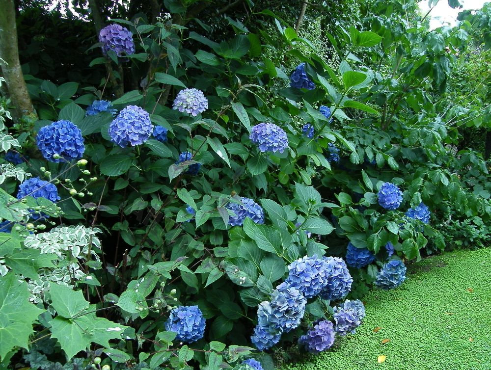 Other Photos Of Leaf Hydrangea Macrophylla Mathilda Gutges