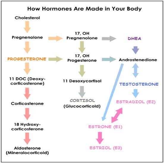 Diagrams in sex hormones
