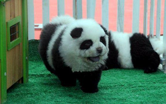 For Sale Dogs That Look Like Pandas Panda Dog Panda Puppy