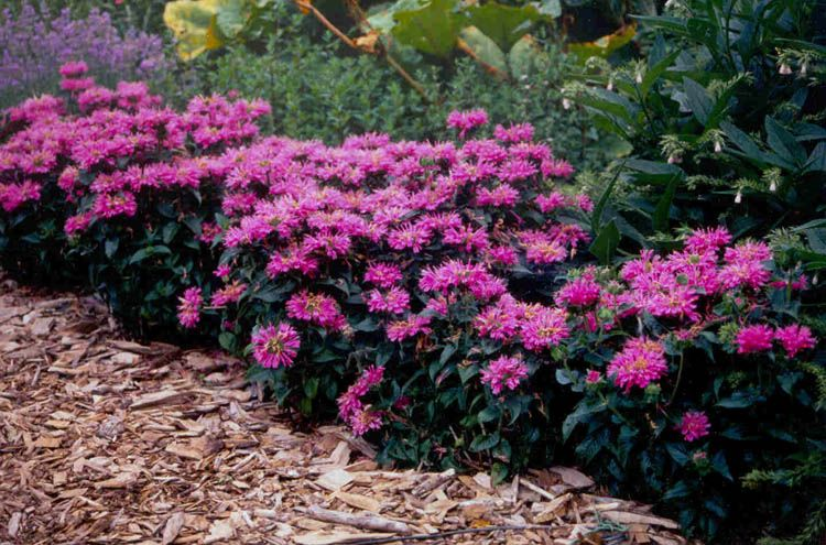 Monarda petite delight petite delight bee balm dwarf form 12 15 inches in height dark green crinkled leaves lavender rose tubular flowers attractive to bees good mildew resistance full sun to light shade mightylinksfo