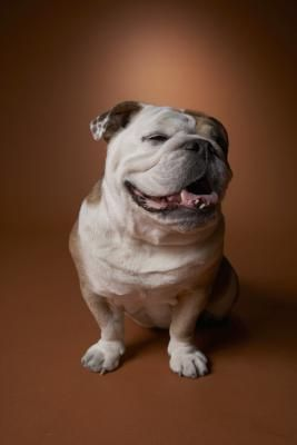 Bathing An Old English Bulldog Old English Bulldog Animals Dogs