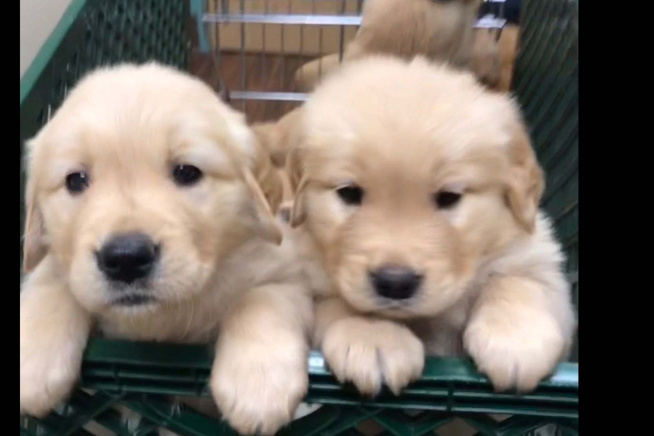 God S Golden Gifts Has Golden Retriever Puppies For Sale In New