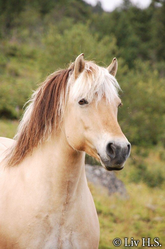 "Fjord horse, photo by ,,Liv H.S. "" (deviantart.com)"
