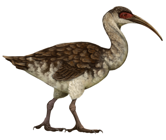 By Scott Reid Etymology Wingless Ibis First Described By Olson  Wetmore 1976 Classification D
