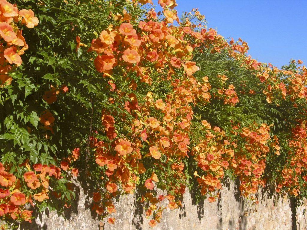 цветущие лианы фото с названиями меня важен