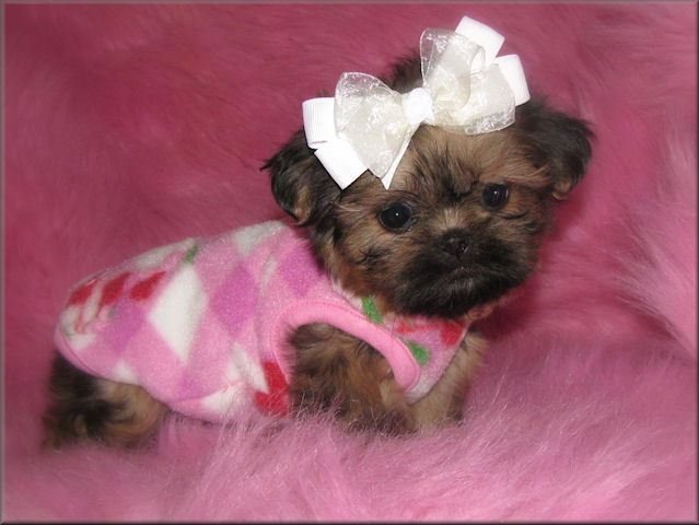 Teacup Shih Tzu Puppies Tzu Imperials Teacup Toy Miniature Or