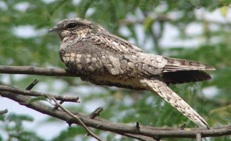 Nightjar animals beginning with n uk Animals beginning