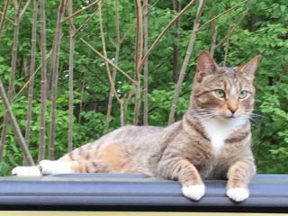 Color Brown Tabby White Species Cat Gender F Weight 9lbs Microchip Id 985112003447683 Date Lost 3 21 2016 Lost Cat Cats Police Canine