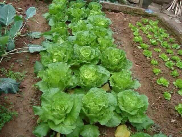 Kebun Mini Sayur