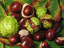 Aesculus hippocastanum - the seeds off the horse chestnut