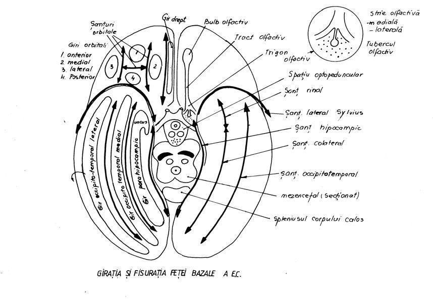 varicoză și orbita
