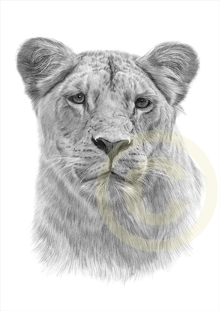 Lioness Drawing