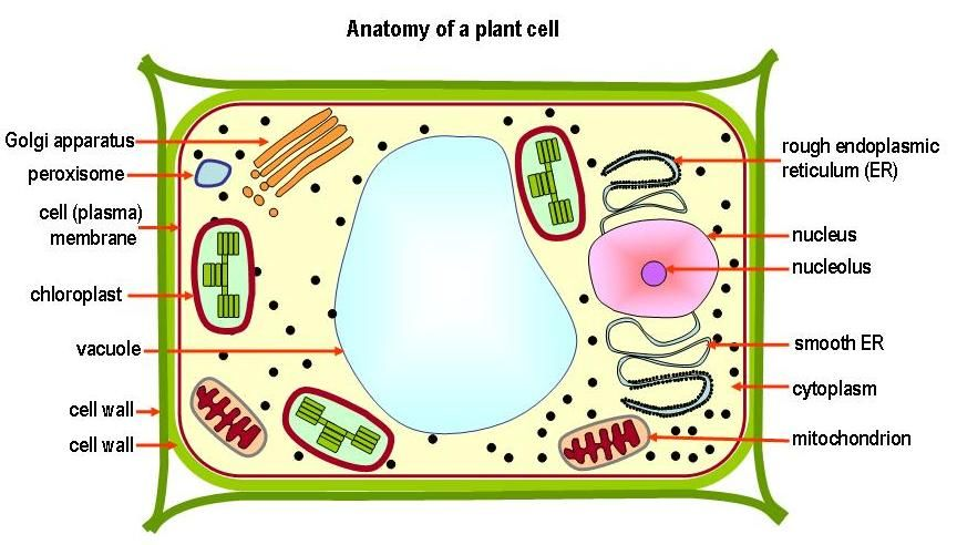 View of a plant cell diagram product wiring diagrams the over view of the cell structure and components of plant yahoo rh pinterest co uk plant cell diagram without labels plant cell diagram black and white ccuart Image collections
