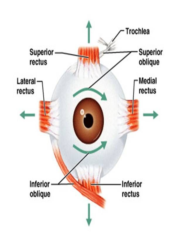 model of an eye | Nervous system | Pinterest | Kids corner