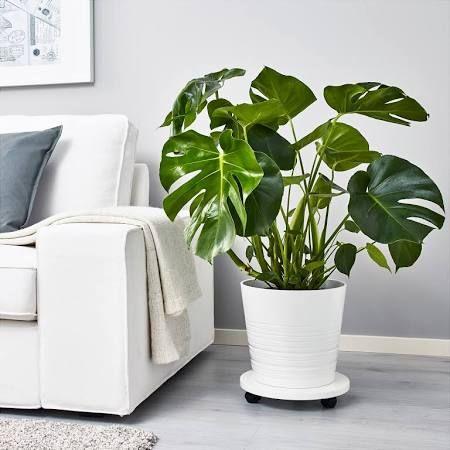 IKEA MONSTERA, Pflanze, Ø21 cm, Fensterblatt Wohnen Pinterest - grose wohnzimmer pflanzen