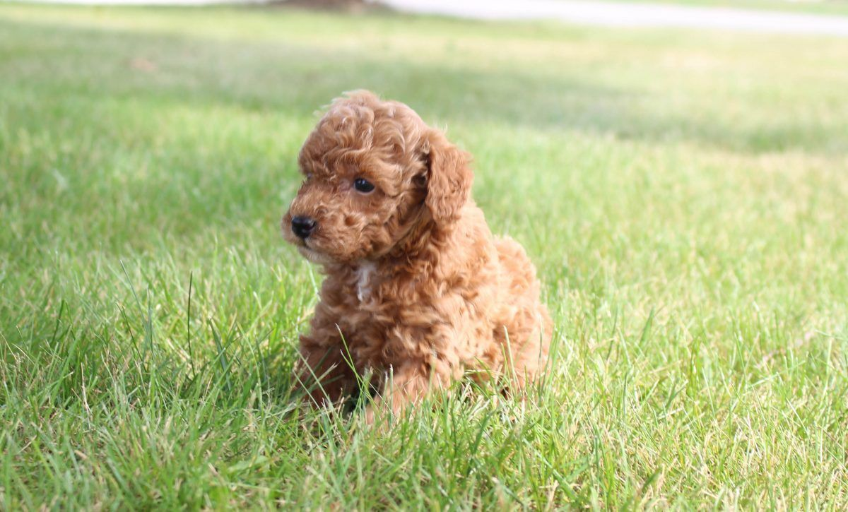 Parton Miniature Poodle Dogs In Shipshewana Indiana For Sale