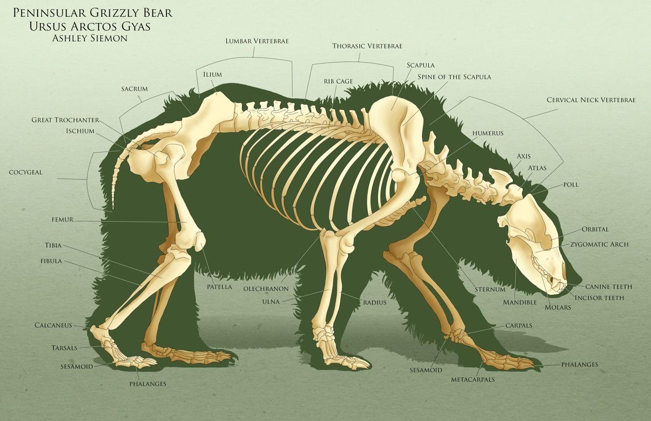 AnatoRef | Bear Anatomy | Practice makes perfect | Pinterest ...