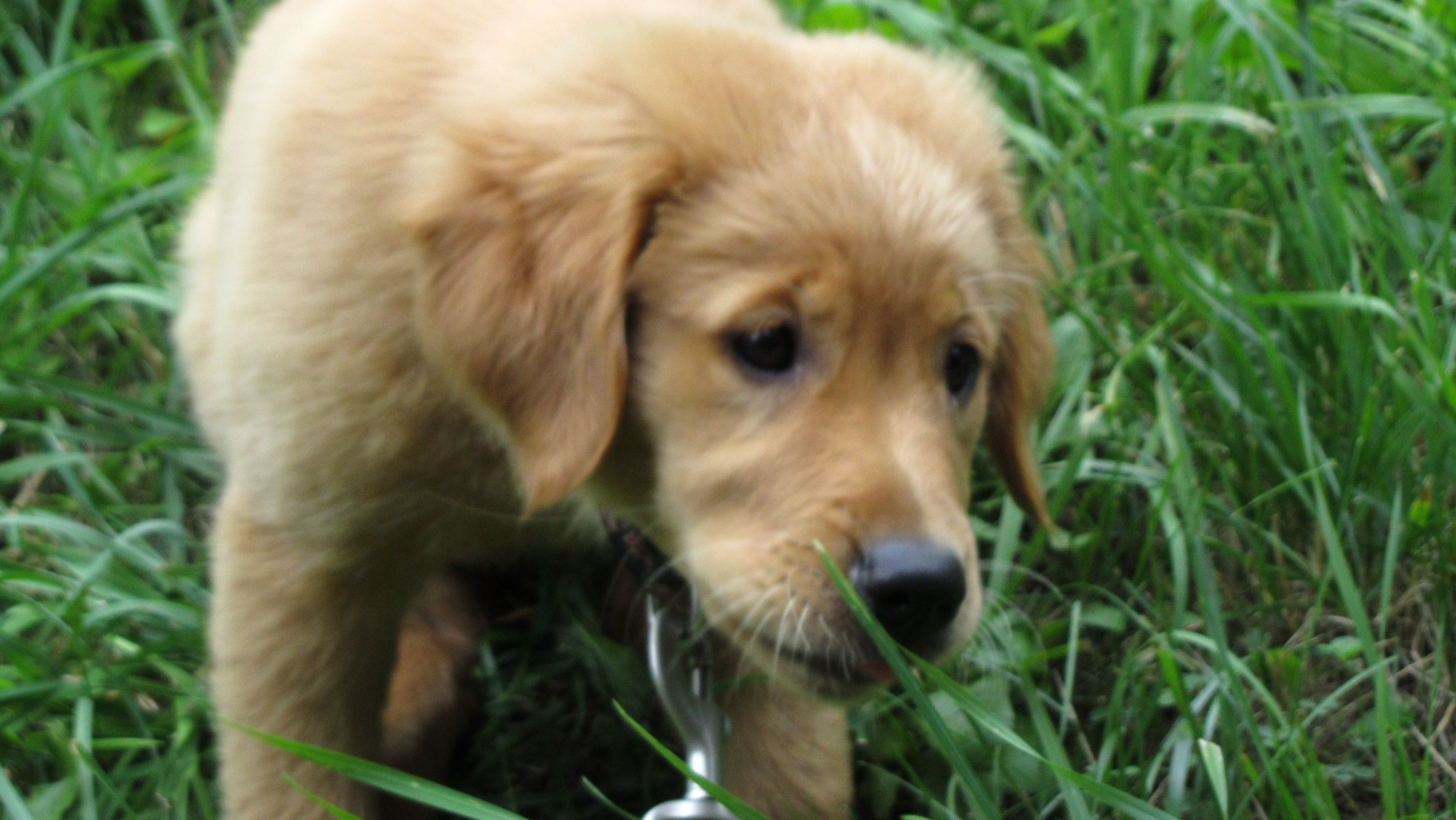 golden retriever puppy Golden retriever puppy, Golden