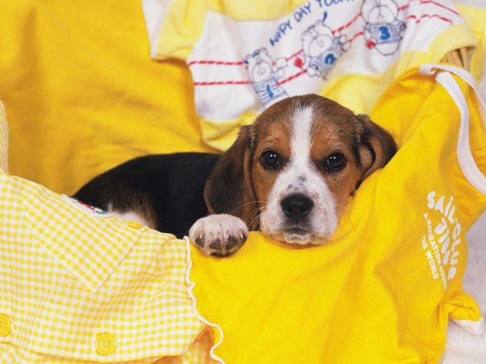 Cute Dog Lying On Yellow Blankets Beagle Puppy Beagle Cute Beagles