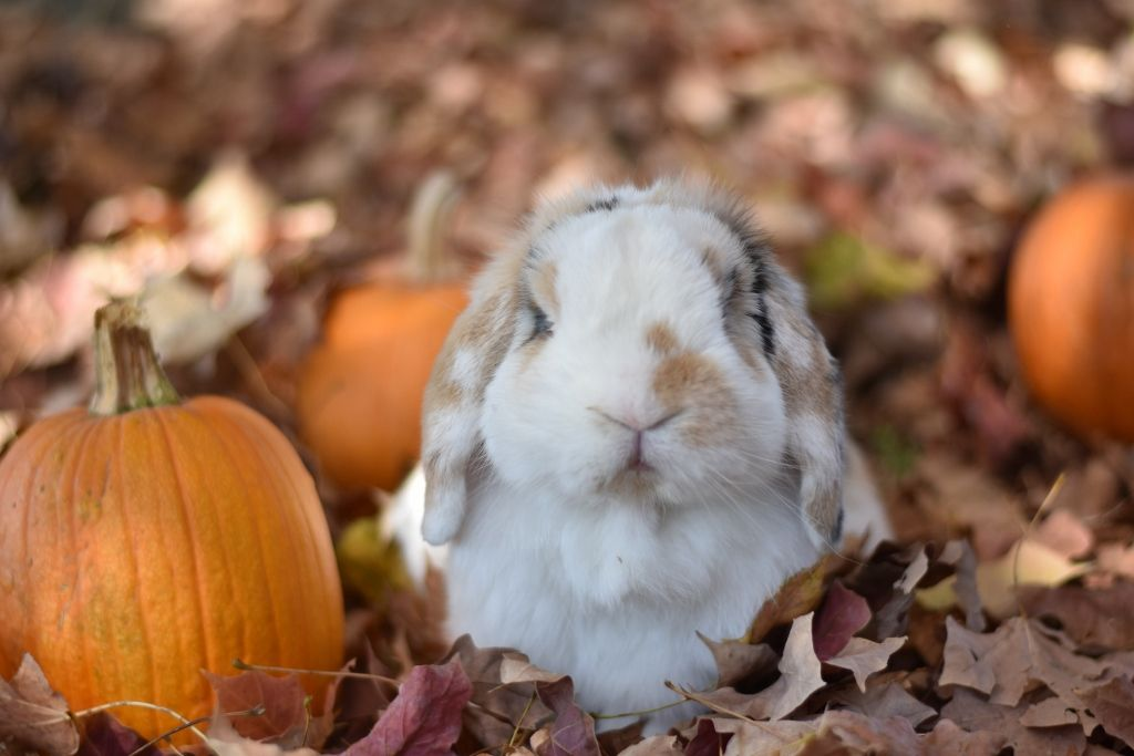 Holland lop bunny in autumn Pumpkin, fall leaves, rabbit, cute, adorable, | Cute baby bunnies, Bunny pictures, Pet bunny