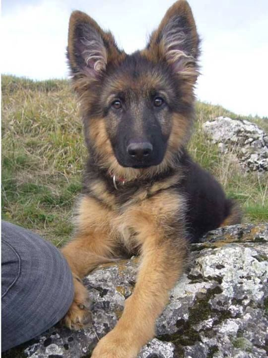 German Shepherd Dog ...........click here to find out more http://googydog.com