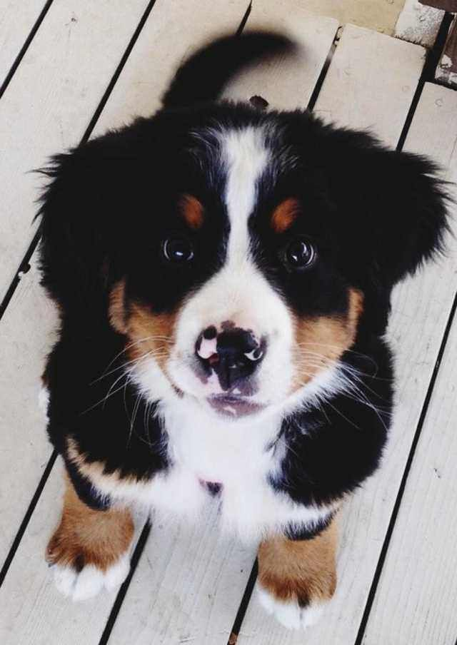 Bernese Mountain Dog Puppy!    #dog #doglover #dogmom #doglife #puppy #pup #pups #dogs #doggo #doggy