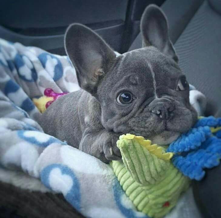 Blue French Bulldog Puppy Bulldogspuppies Bulldog Puppies