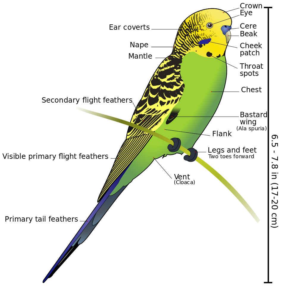 budgerigar diagram labeled budgerigar wikipedia the free encyclopedia [ 951 x 975 Pixel ]