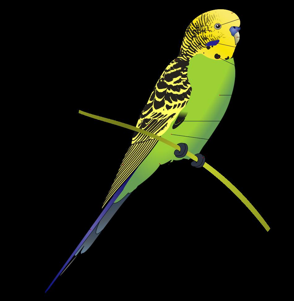medium resolution of budgerigar diagram labeled budgerigar wikipedia the free encyclopedia