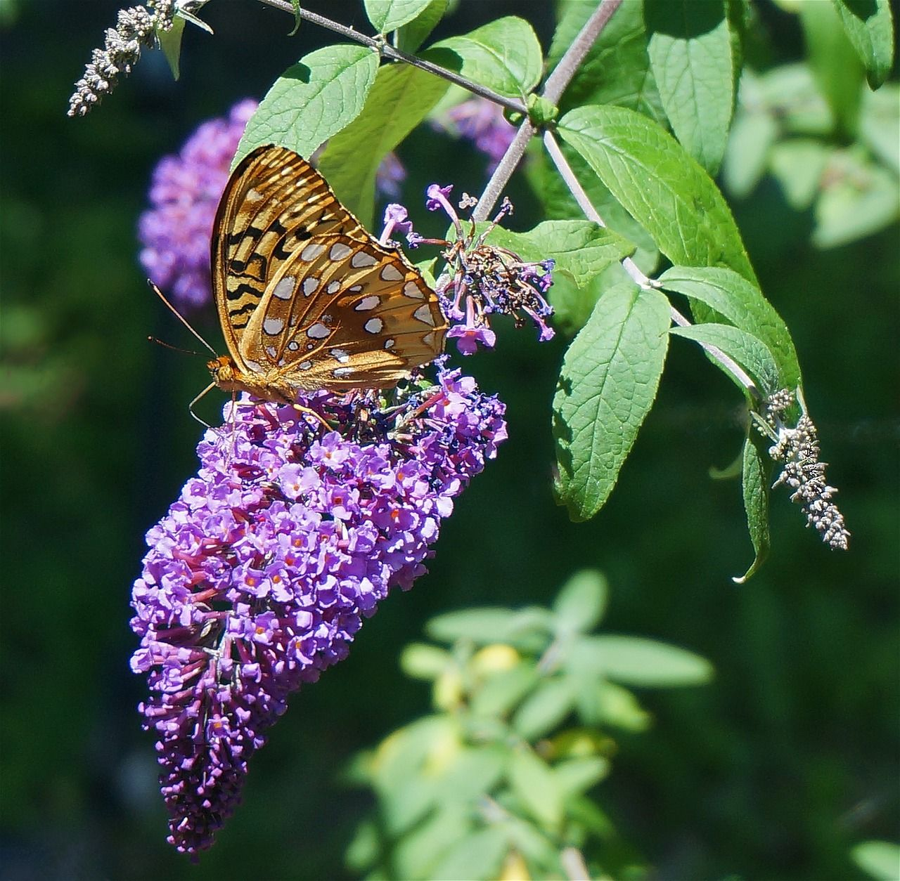 Butterfly bush butterfly bush butterfly and plants