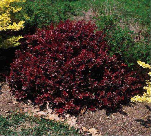 crimson pygmy barberry red shrubs