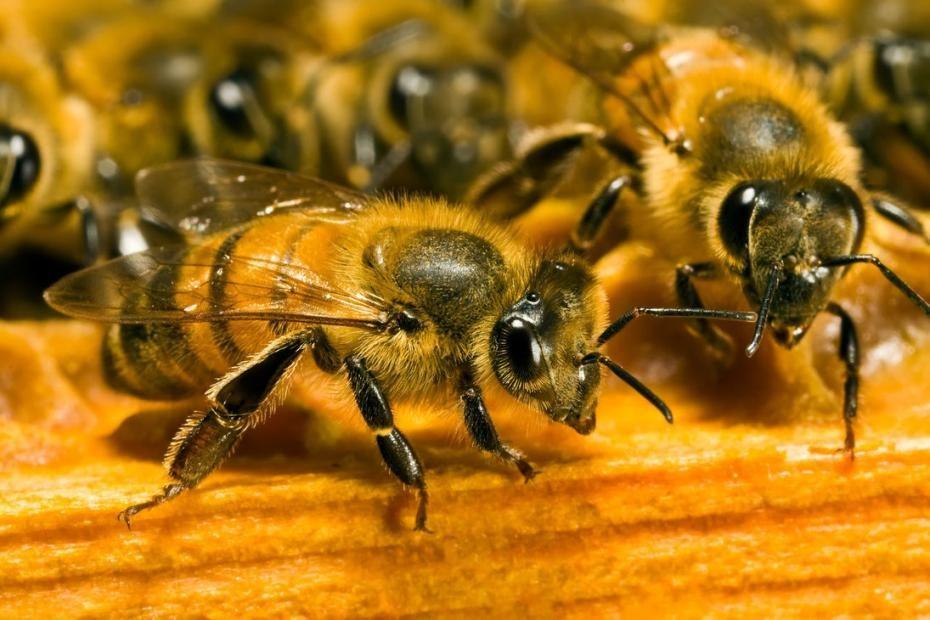 """Résultat de recherche d'images pour """"abeille sauveuse"""""""