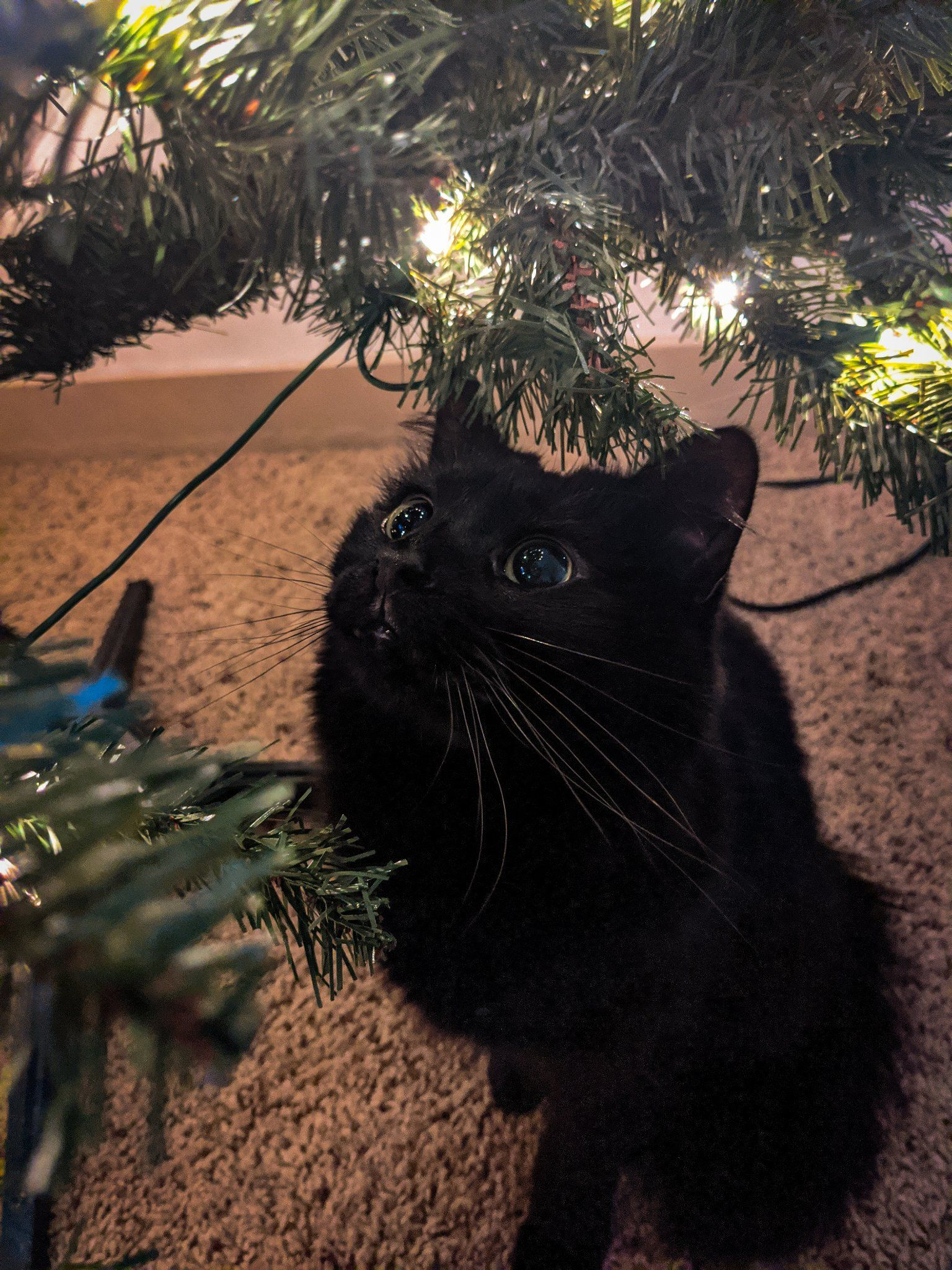 Day 3 Gazpacho Still Adores The Christmas Tree Black Cat Day Cute Cats Beautiful Cats