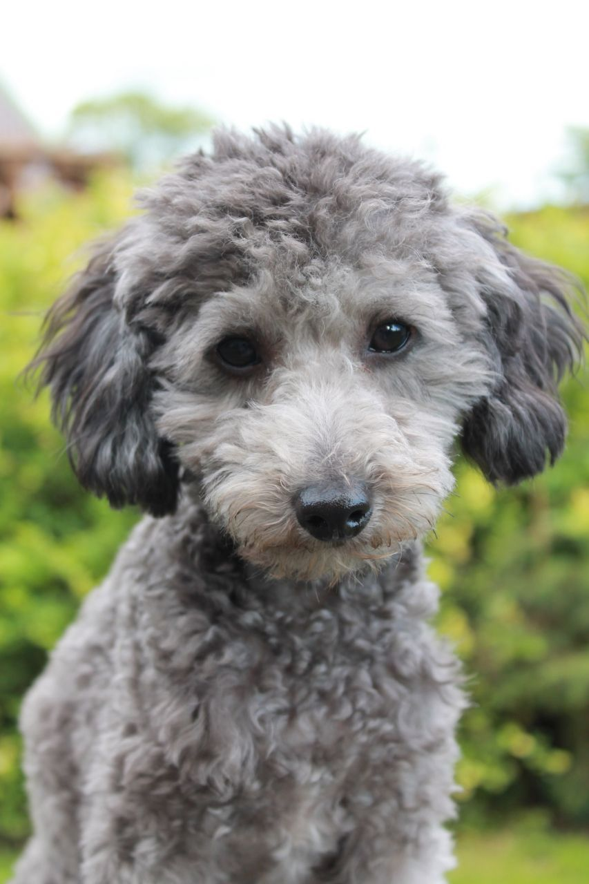 Platinum tea cup poodles for sale dog breeds picture - Murphy Is A Small Toy Poodle He S Silver But Also Caries Chocolate In His Pedigree He Is Proven Available For Mixed Breeds And Poodles He S A