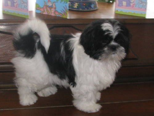 Adult Shih Tzu Pictures Google Search Shih Tzu Animals Pictures