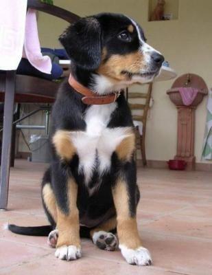 Entelbucher Mountain Dog Entlebucher Mountain Dog