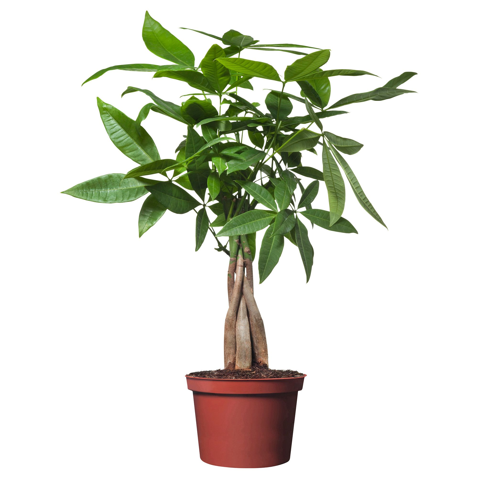 PACHIRA AQUATICA Potted plant IKEA good plant for a brown