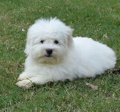 Coton De Tulear Coton De Tulear Dogs Cute Puppies And Kittens Coton De Tulear