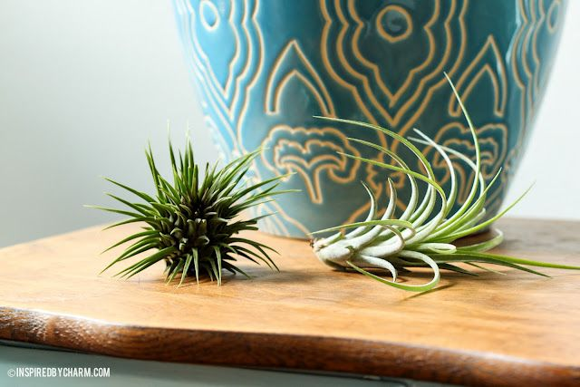 Air Plants - something I might be able to keep alive