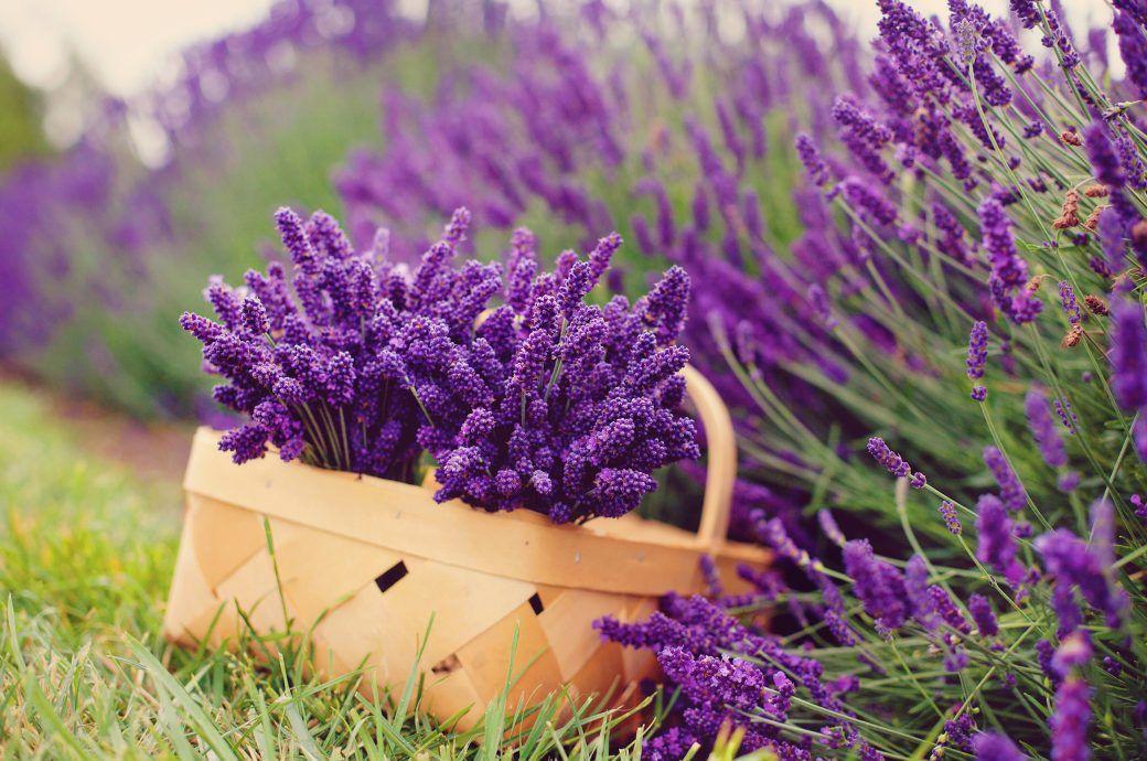Wie Man Lavendel Richtig Schneidet Lavendel Pflanzen Pflanzen Lavendel