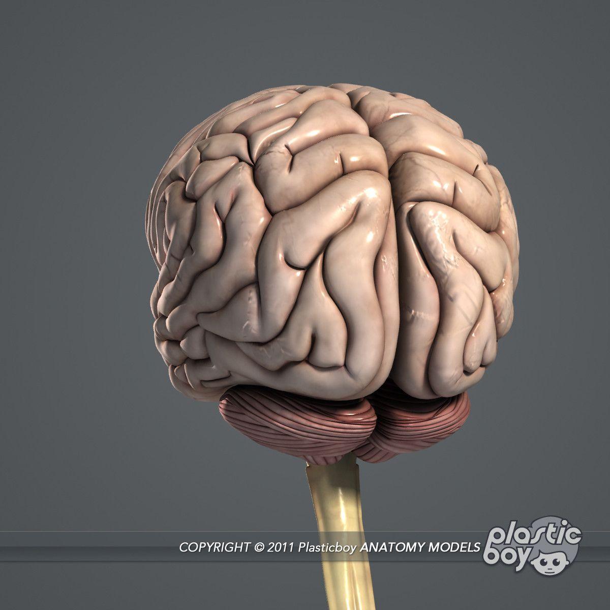 3d medically human brain model | brain | Pinterest | Brain