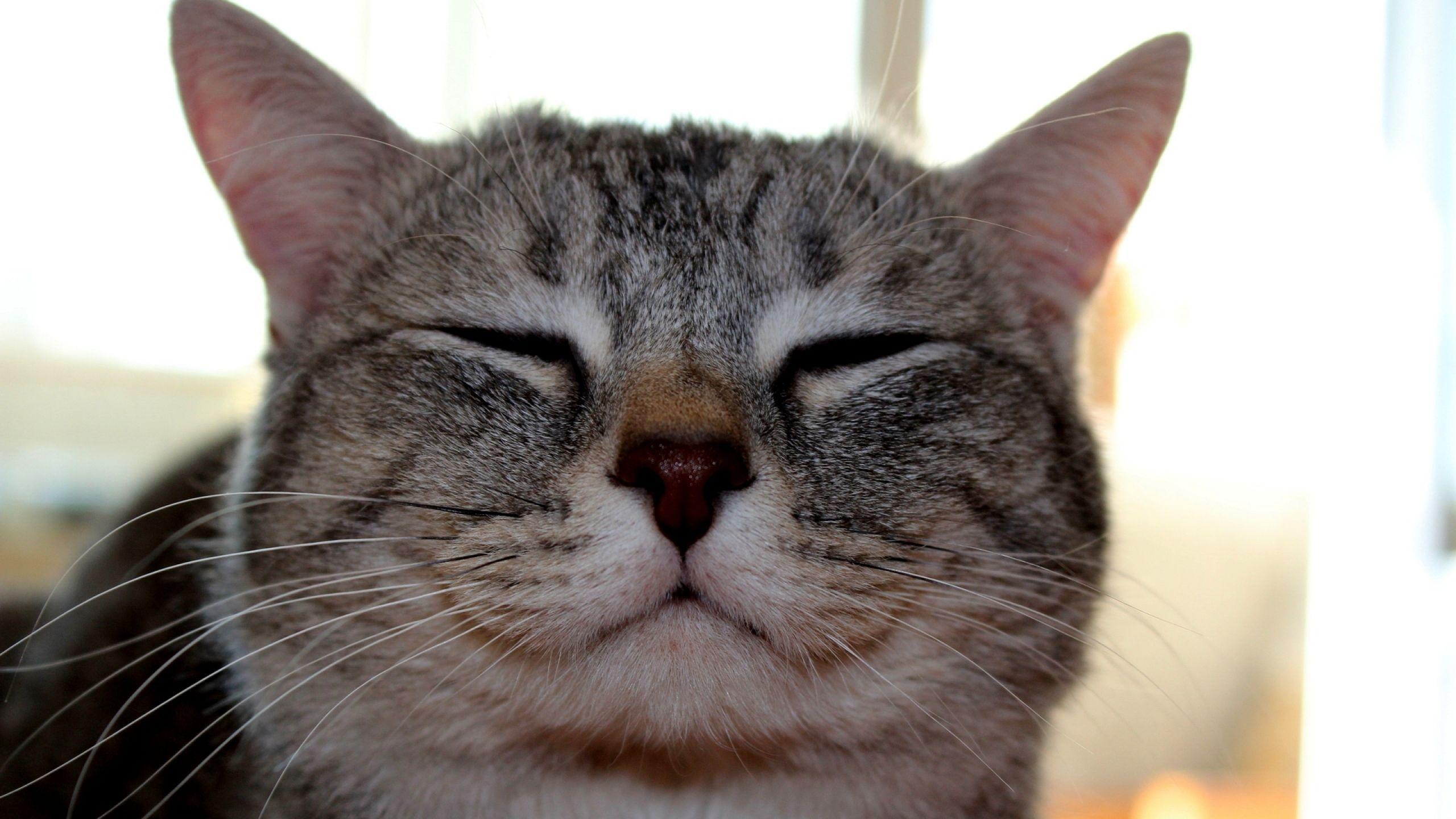 2560x1440 Wallpaper cat, face, happy Smiling cat, Funny