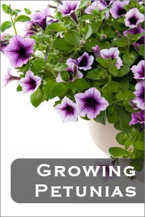 Petunias flower are herbaceous perennial flowers which are often petunias flower are herbaceous perennial flowers which are often grown as annuals in backyard gardens and mightylinksfo Choice Image