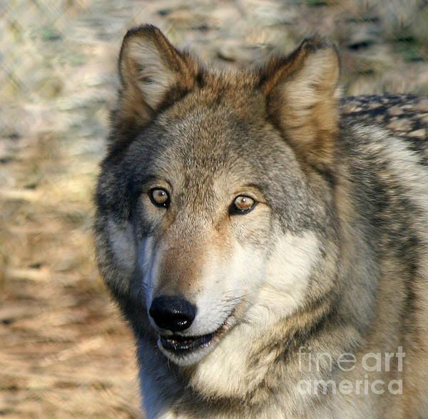 Gray Wolf Portrait: This photo of a Gray Wolf was taken in Ipswich Massachusetts in December 2011 at Wolf Hollow