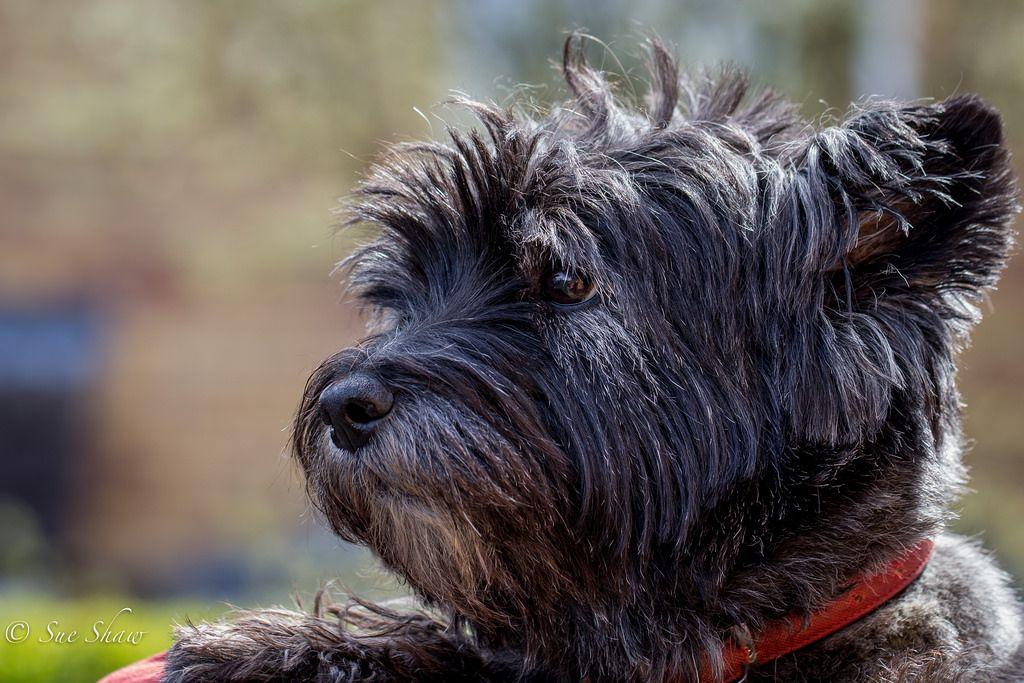 Cairn Terrier Alfie Aged 12 Cairn Terrier Terrier Norwich Terrier