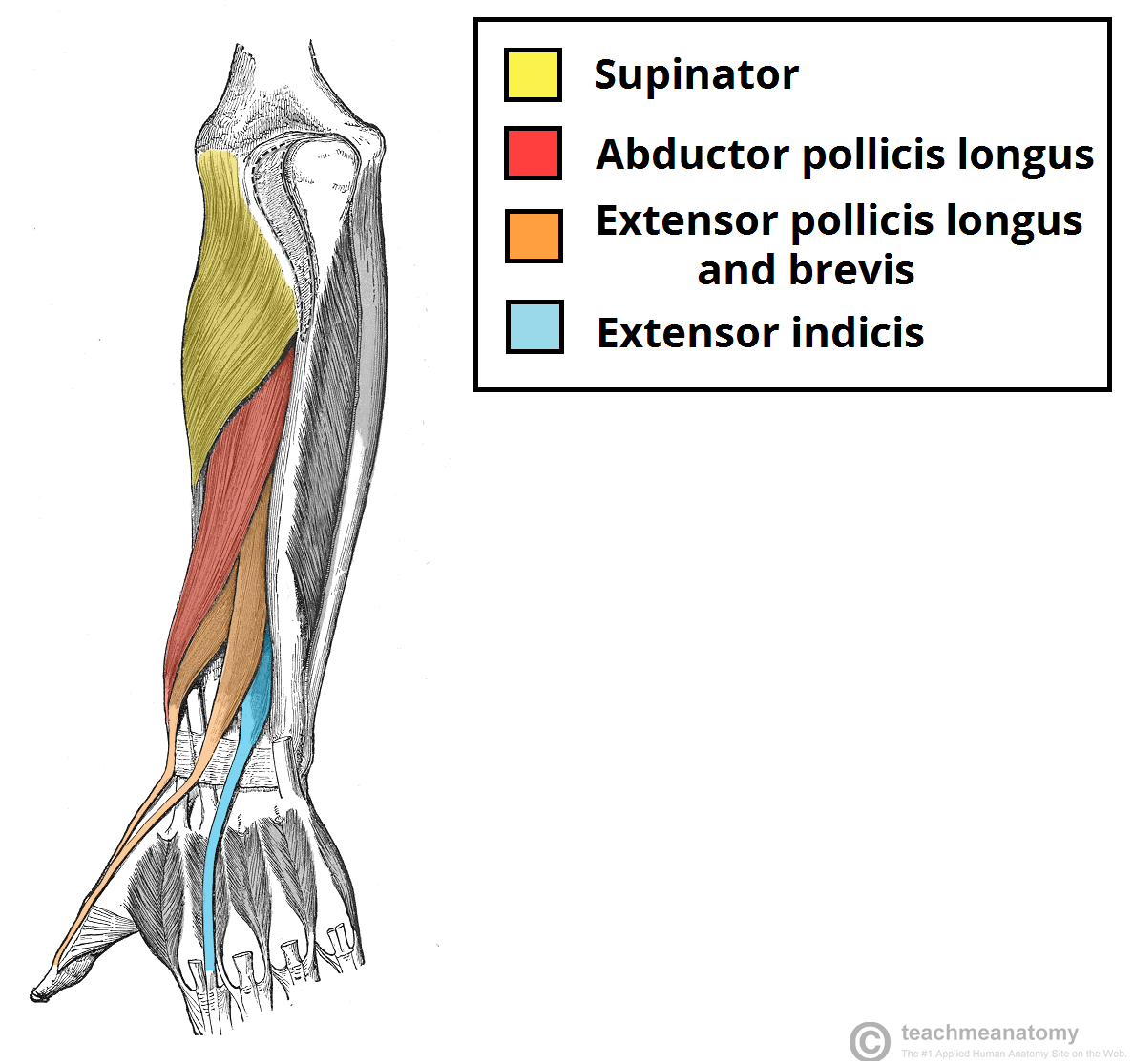 anterior vs posterior forearm - Google Search | SDP Tendons and ...