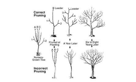 Pruning fruit trees, Garden trees, Fruit garden