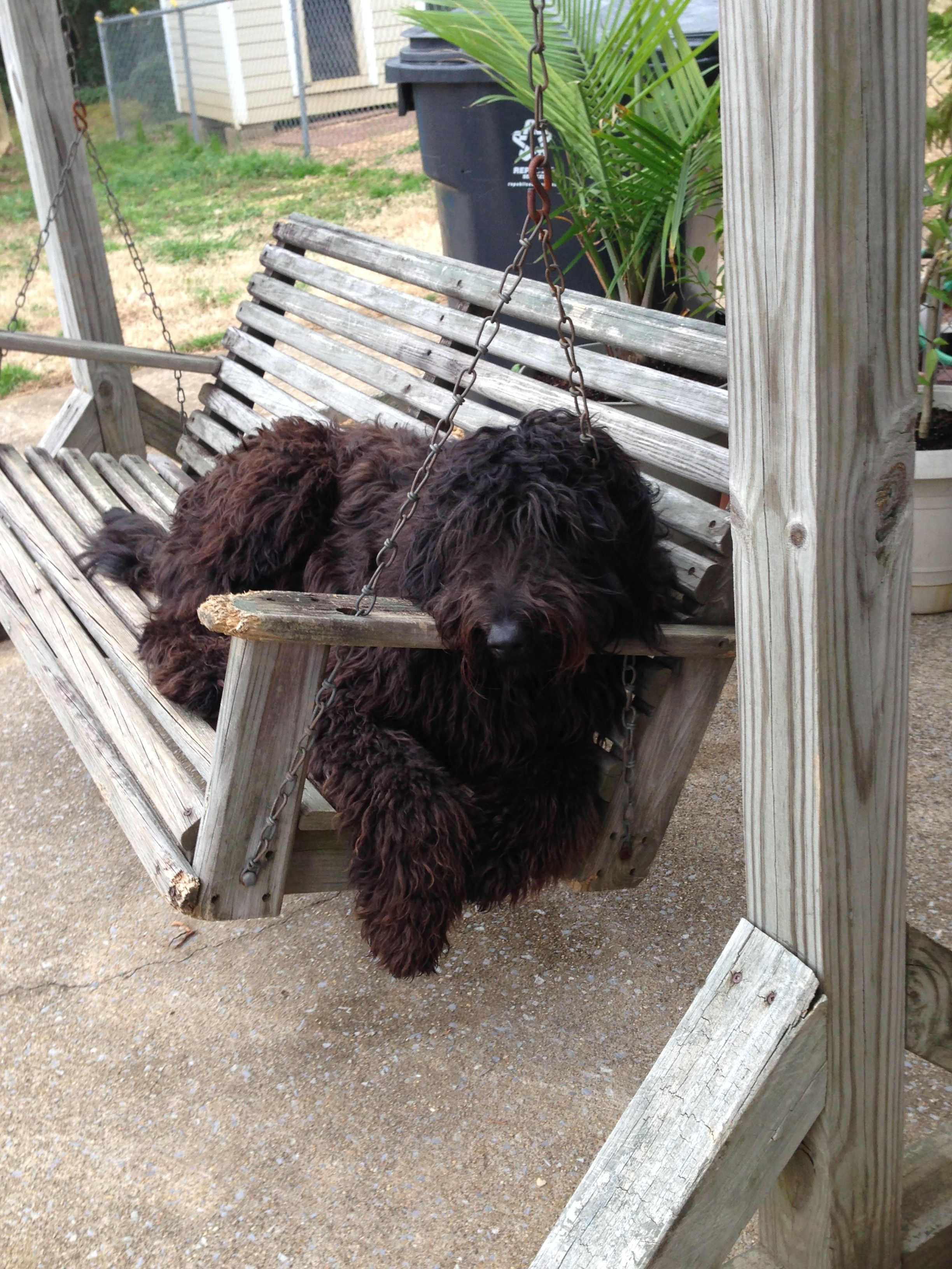 Cletus Our Giant Schnoodle Prior To His New Do He S A Cutie